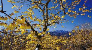冬の花さんぽ・女子旅におススメ 長瀞宝登山へ「ロウバイ」を撮りに行こう ~初のライトアップやプレゼントキャンペーンも実施~サムネイル