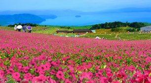 箱館山ゆり園は『びわこ箱館山』へ名称を改め、7月18日(土)より ペチュニアやコキアの花畑を中心にリニューアルオープン!サムネイル