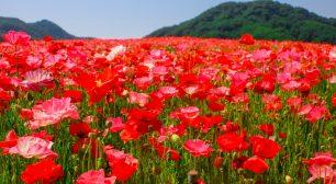 澄んだ青空×真っ赤な花畑 「天空のポピー散策往復バスツアー」開催サムネイル